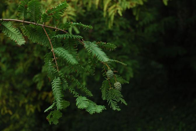 Metasequoia glyptostroboides (Bing Liu)