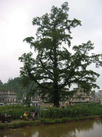 Metasequoia glyptostroboides (Qin Leng)
