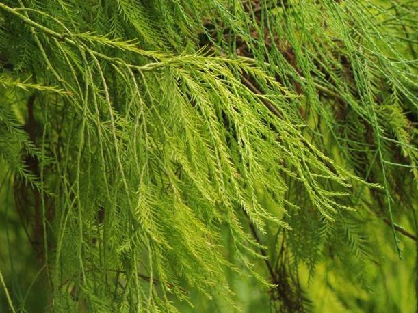 Glyptostrobus pensilis (Yuan Wang)