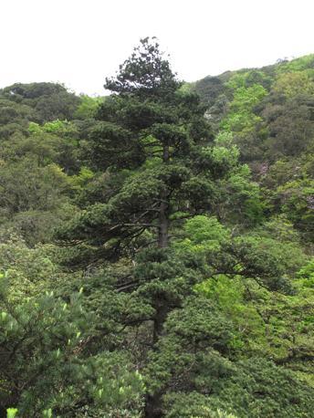Cathaya argyrophylla (Zhao-Shan Wang)