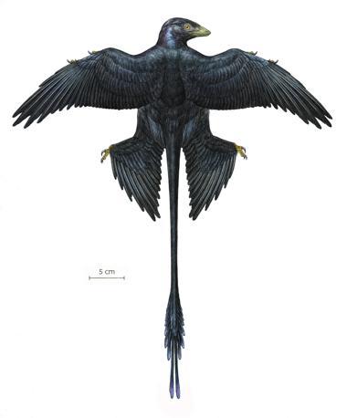 Il Microraptor era un dinosauro grande come un piccione vissuto circa 130 milioni di anni fa, ma era incapace di volare nonostante le sue quattro ali (Ansa)