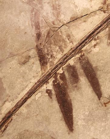 Il colore del piumaggio � stato ricostruito partendo dai resti fossili di un esemplare rinvenuto nel nord-est della Cina e conservato nel Museo di storia naturale di Pechino (Ansa)