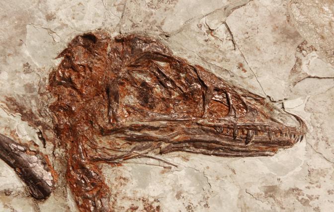 I  ricercatori hanno stabilito che il Microraptor aveva piume completamente nere con deboli riflessi blu cangianti, le pi� antiche piume iridescenti scoperte finora (Ansa)