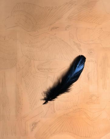 Confrontando i melanosomi degli uccelli moderni, i ricercatori hanno stabilito che il Microraptor aveva piume nere con deboli riflessi blu cangianti (Ansa)