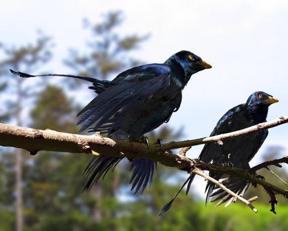 Le due lunghe piume della coda non avrebbero avuto funzione aerodinamica, ma sarebbero state usate per il corteggiamento e altri tipi di interazione sociale (Ansa)