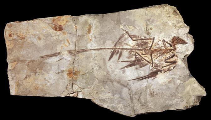 I resti fossili del Microraptor (Ansa)