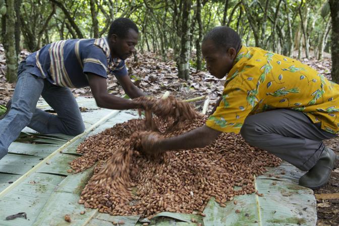 Piante Di Cacao : L indispensabile cacao