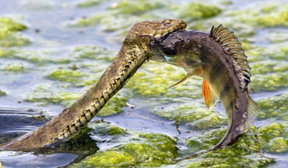 What does a snakehead fish look like 11