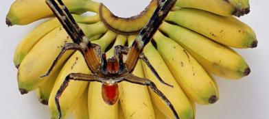 Phoneutria nigriventer (o ragno delle banane)