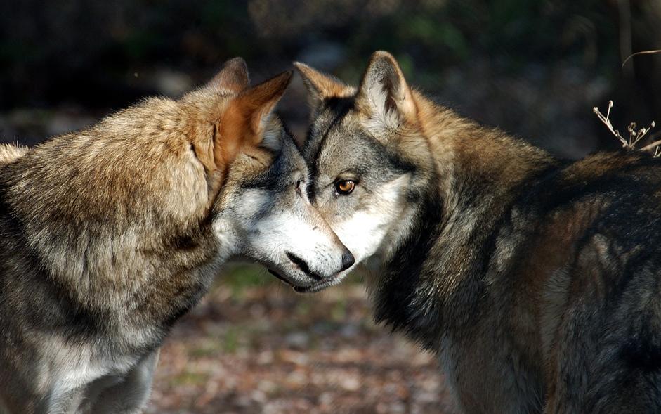 Appennino i lupi ora sono pi di mille for Disegni di lupi facili