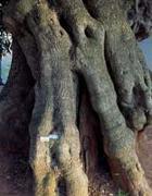 I mammelloni aggrappati alla corteccia di molte piante, funzionano come le gobbe dei cammelli, ricchissimi di gemme dormienti e di sostanze di riserva