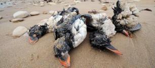 Atlantico: strage di uccelli per le tempeste