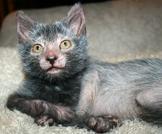 Ecco il Lykoi, il gatto mannaro che somiglia a Wolverine