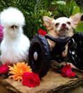 Le avventure e gli amici di Roo, chihuahua in «sedia a rotelle»