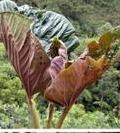 Il Piper kelleyi e gli insetti che nutre in esclusiva