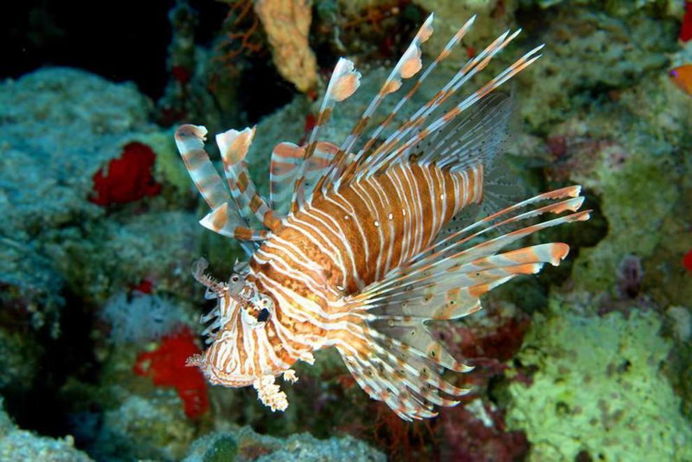 Gli animali della barriera corallina del mar rosso for Pesce pagliaccio foto