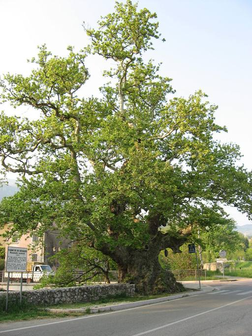 Gli alberi monumento d italia quando il verde diventa for Alberi alto fusto nomi