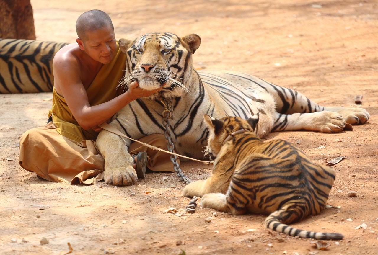 Thailandia il tempio dove i monaci vivono insieme alle for Disegni delle tigri