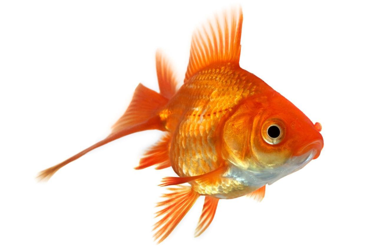 87 fattoidi fatti non veri che in rete continuano a for Pesce rosso razza
