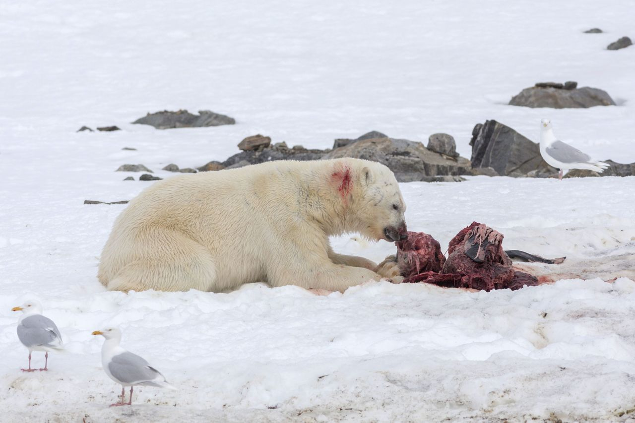 Norvegia il pasto insolito di un orso polare per colpa for Affittare una cabina nel grande orso
