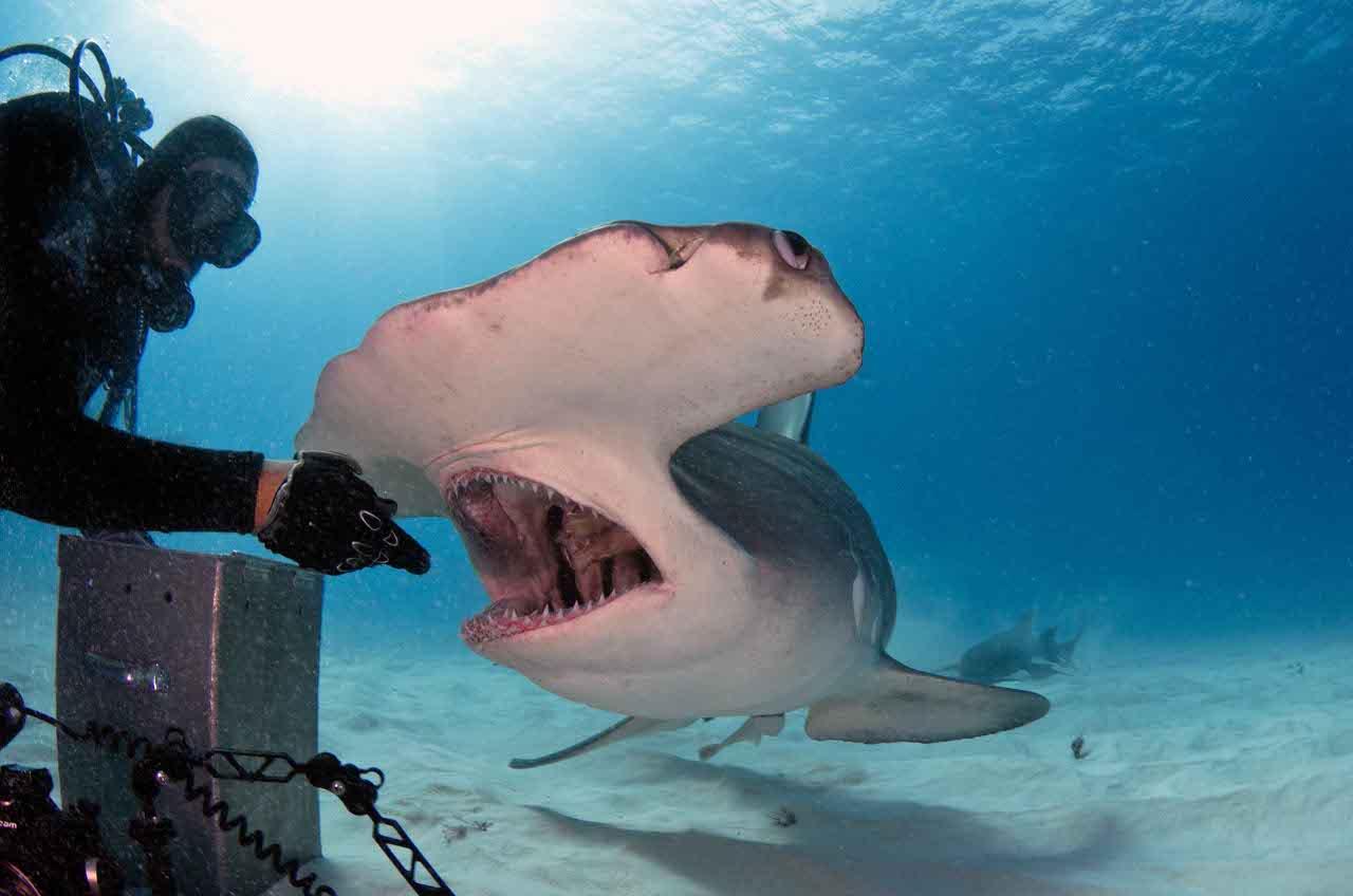 Bahamas: lo squalo martello si fa accarezzare - Corriere.it