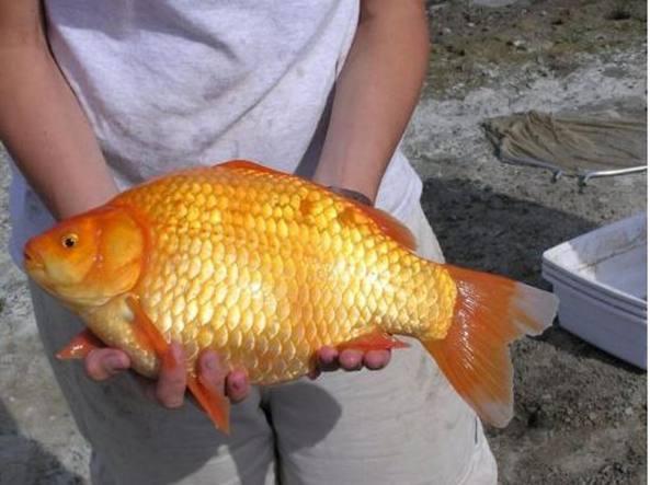 Canada l invasione dei pesciolini rossi giganti in un for Vasca x pesci rossi