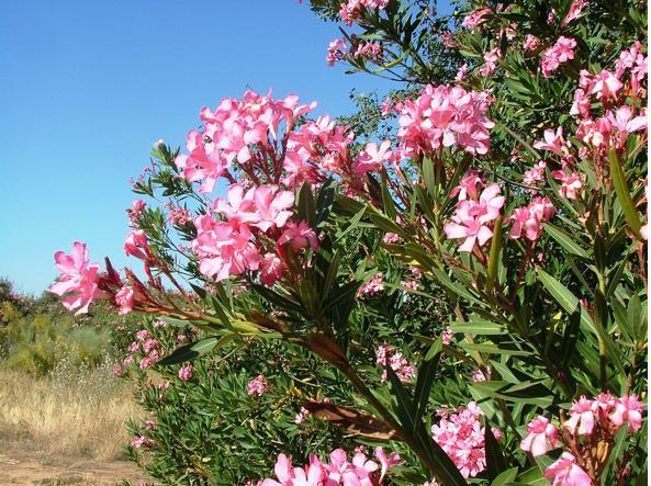 Guardare ma non toccare 10 piante velenose for Oleandro riproduzione
