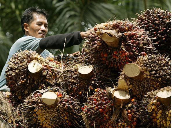 Frutti da cui si ricava l'olio di palma (Reuters)