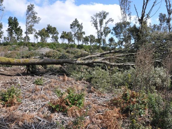 Albero tagliato nella foresta demaniale del Marganai