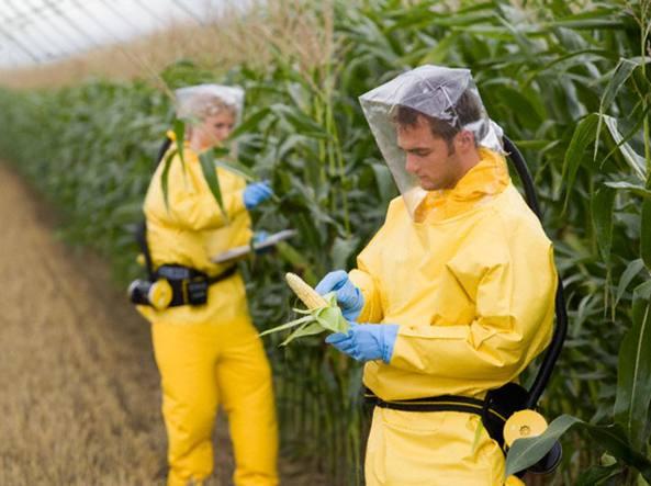 Risultati immagini per ogm mais