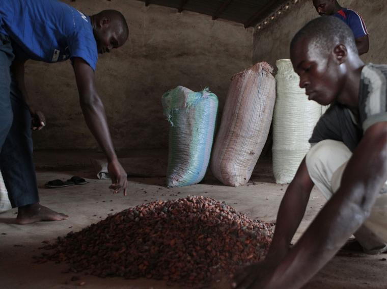 Nel villaggio di Fangongo, due operai raccolgono nelle sacche i semi di cacao (foto AP)