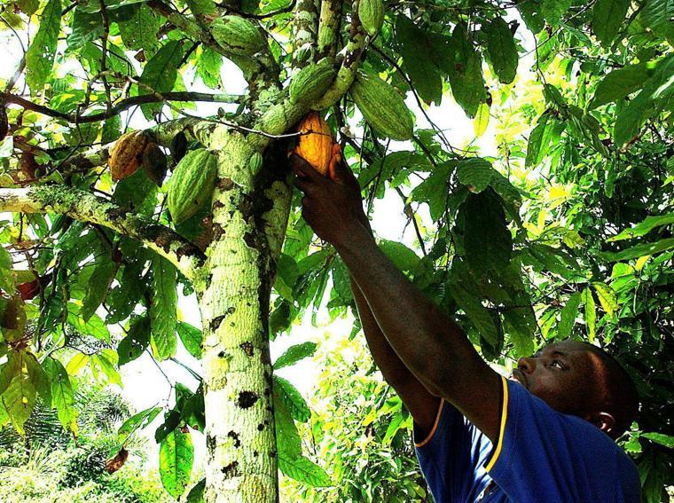 Un contadino raccoglie le fave di cacao in una piantagione di Issia, Costa d'Avorio (foto EPA)
