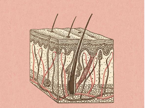 La struttura del cuoio capelluto con i capelli e le  ghiandole sebacee (Getty Images)