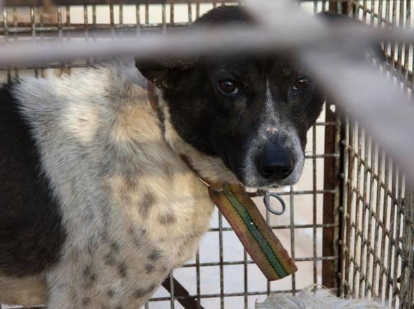 Un cane in gabbia prima di essere ucciso nel mercato di Jaixing, in Cina  (foto Animal Equality)