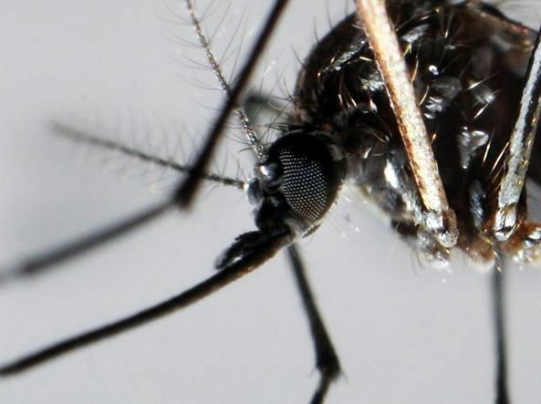 La zanzara «Aedes Aegypti» (Epa)