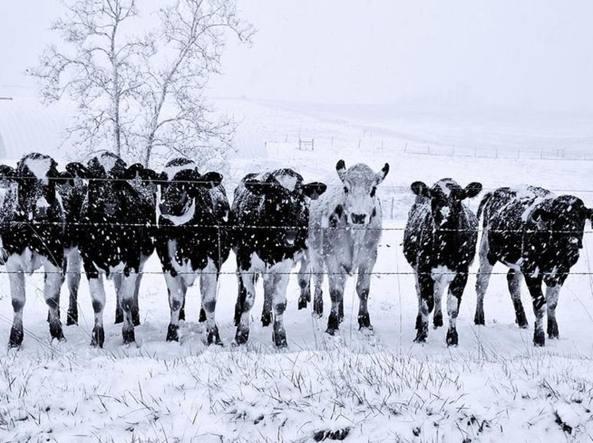 Mucche sotto la neve in Texas