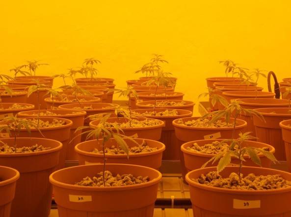 Le piantine di cannabis coltivate nello Stabilimento Chimico Farmaceutico Militare  di Firenze (foto Ruggiero Corcella)