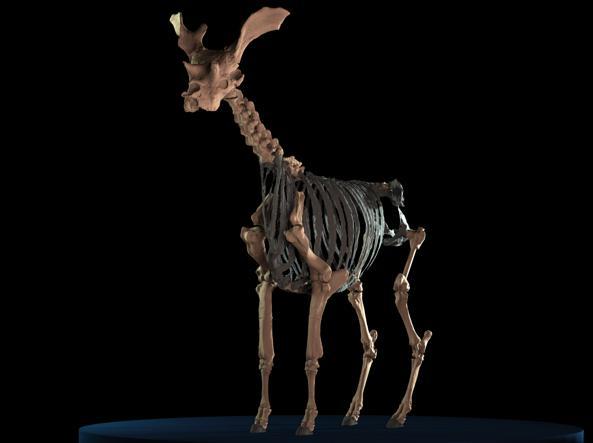 Le ossa fossili del Sivatherium giganteum
