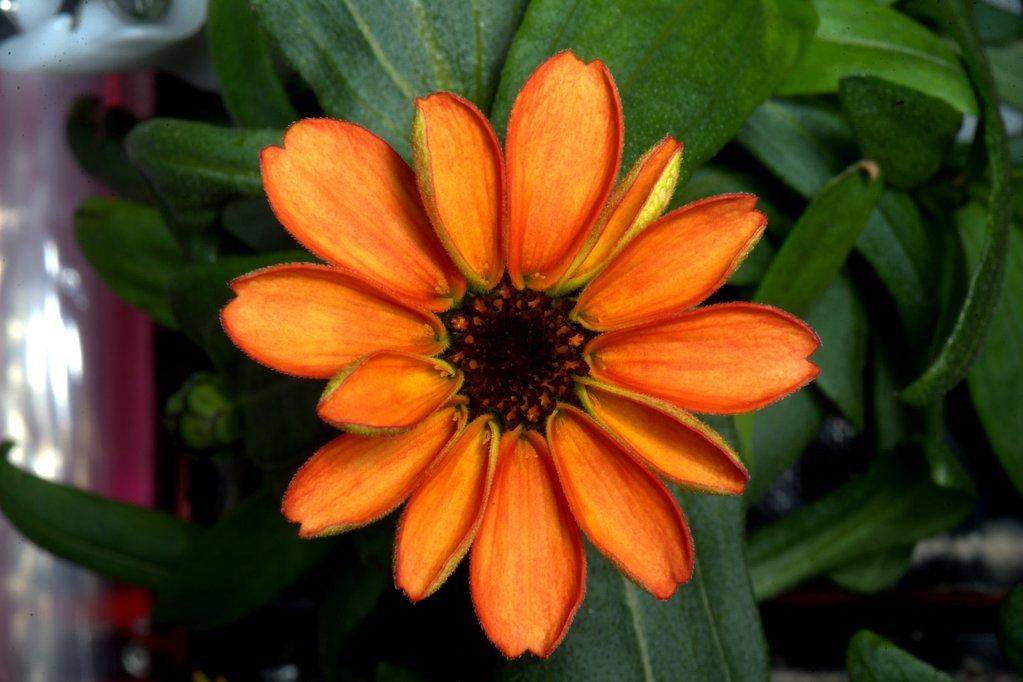 ISS: sbocciano i primi fiori coltivati nello spazio