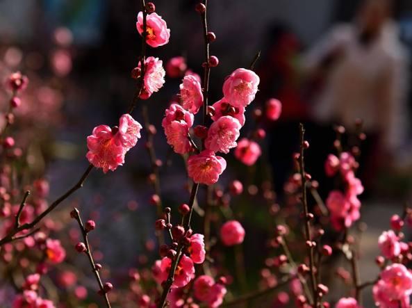 Alberi fioriti a fine gennaio per il caldo anomalo (Lapresse)