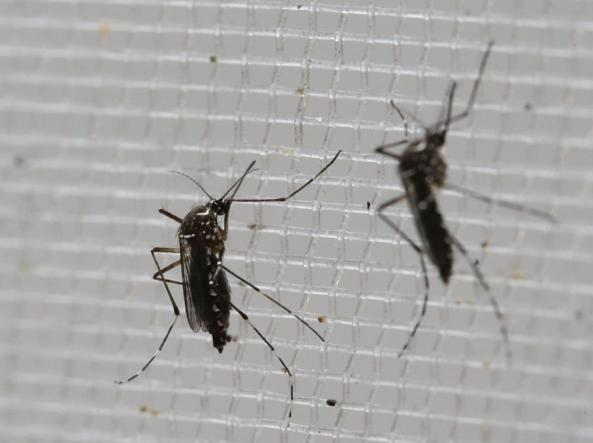 Aedes aegypt (AP)