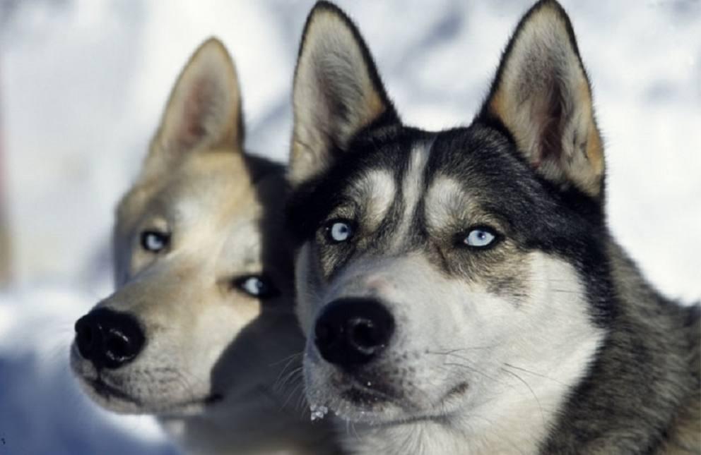 Un giorno in slitta con i cani - Husky con occhi diversi ...