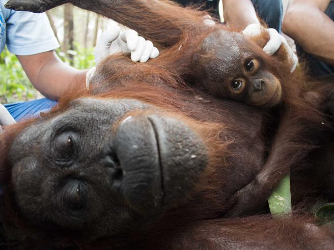 La mamma e il piccolo orango, inseparabili: le commoventi foto del salvataggio
