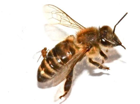 La mosca «inietta» le larve nell'ape