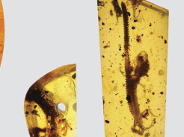 A destra il camaleonte (David Grimaldi/Florida Museum of Natural History)