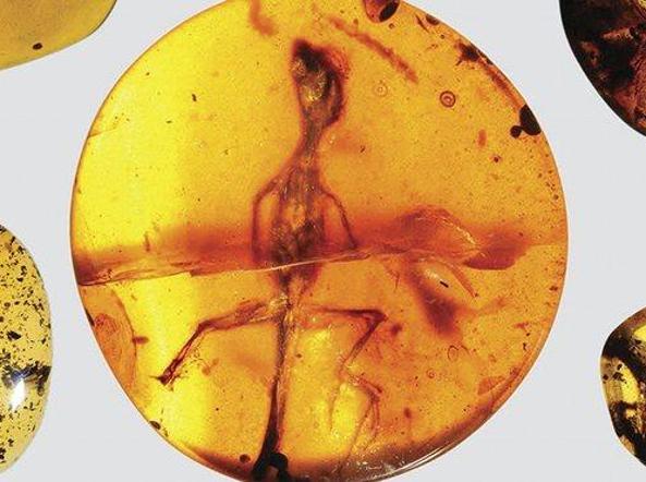 Una lucertola nell'ambra (David Grimaldi/Florida Museum of Natural History)