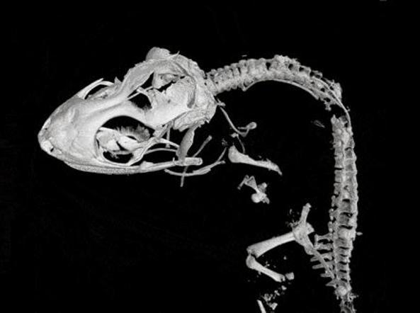 Ricostruzione tridimensionale dello scheletro (Kristen Grace/Florida Museum of Natural History)