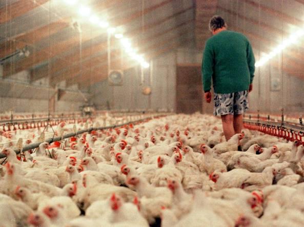 Un allevamento intensivo di polli (Ap)