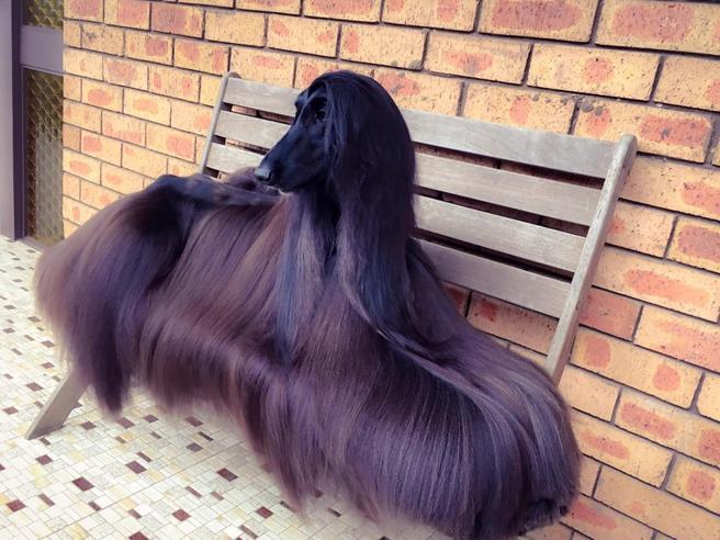 Tea e il suo manto da record: ecco  il cane più bello del mondo secondo i social
