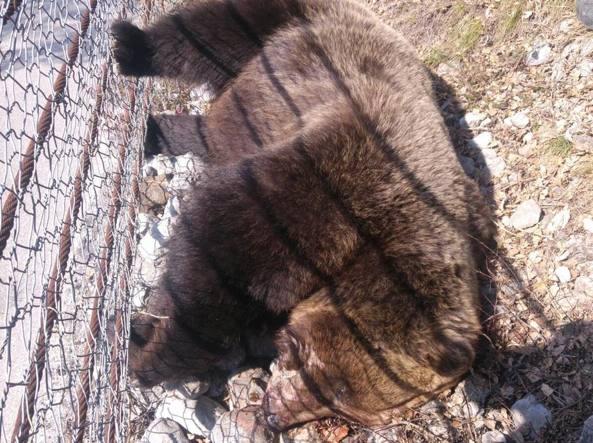 La foto, diffusa dalla Provincia di Trento, dell'orso trovato morto in Val di Non